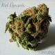 Kid Dynamic Cannabis